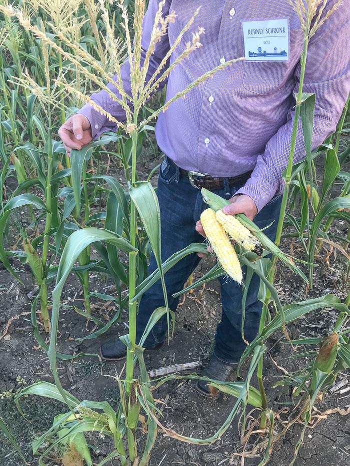 Organic versus GMO Corn Shronk Family Farm_Natalie Paramore 1